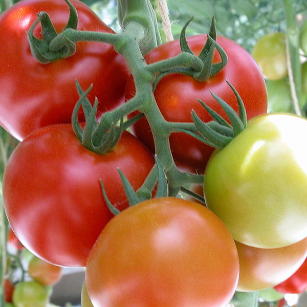 [Translate to English:] Tomatentraube